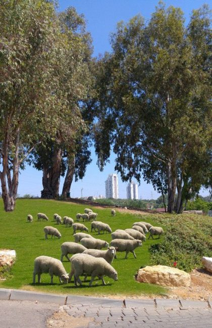 How many sheep there is in your city